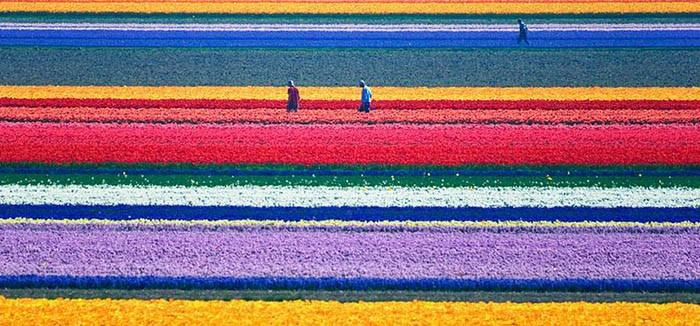 Tulip-Fields-Holland.